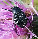 Beetle - Trichiotinus texanus