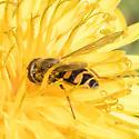 Syrphini - Eupeodes fumipennis - female
