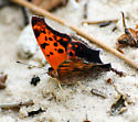 Polygonia interrogationis - Question Mark - Hodges#4420 - Polygonia interrogationis