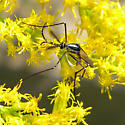 flying insect - Toxorhynchites rutilus - male