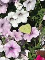 A wild Phoebis sennae