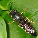 Bicyrtes quadrifasciatus - male