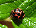 Cream-spotted Lady Beetle - Calvia quatuordecimguttata