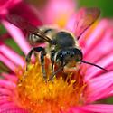 Leafcutter Bee mendica ? - Megachile mendica - male