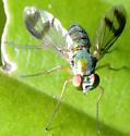 long legged Condylostylus scaber (sipho group) - Condylostylus - female
