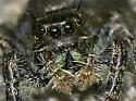 Jumping Spider - Phidippus audax - female