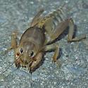Mole Cricket - Scapteriscus vicinus