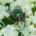 Glossy green fly - Lucilia sericata