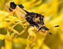 Jagged Ambush Bug - Phymata americana