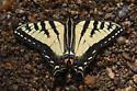 Papilio glaucus or canadensis? - Papilio glaucus