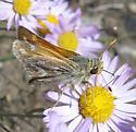 Hespriidae 7-28-11 01b - Hesperia colorado