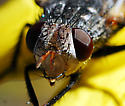 fly - Archytas lateralis - female