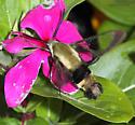 Hummingbird Moth - Hemaris diffinis