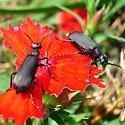 Epicauta pennsylvanica - male - female