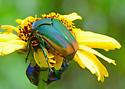 Beetle Buddies - Cotinis mutabilis
