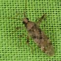 Plant Bug ZH3Z6469 - Phytocoris