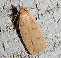 Elachistidae? - Glyphidocera