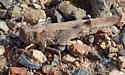 Fall grasshopper - Conozoa sulcifrons