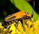 Orange and Black Insect - Chauliognathus pensylvanicus