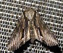 Moth 16 - Hyppa xylinoides
