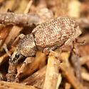Mottled brown weevil - Otiorhynchus singularis