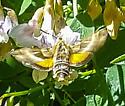 Clark sphinx moth - Proserpinus clarkiae