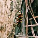 Cerambycid? - Typocerus zebra