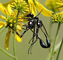 Are these wasps mating? - Eremnophila aureonotata