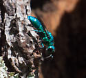 Cuckoo wasp species