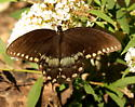 Spicebush swallowtail butterfly - Papilio troilus