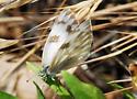 Checkered White - Pontia protodice - female