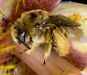 Diadasia(?) on Calochortus - Diadasia - female