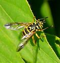 Wasp-mimic Syrphid - Spilomyia longicornis