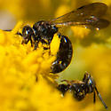 Small mating wasps or bees? - Pseudopanurgus andrenoides - male - female