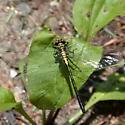 Black & yellow dragonfly - Lanthus