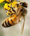 Is this an Italian Honeybee? - Apis mellifera