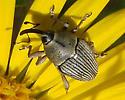gray weevil - Geraeus