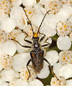 flower longhorn - Gnathacmaeops pratensis