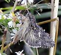 Trichoplusia ni - Cabbage Looper Moth - Hodges#8887 - Trichoplusia ni
