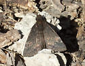 Funereal Duskywing - Erynnis funeralis - male