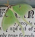 Moth - Actias luna