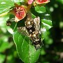 Mating Flies - Eumerus - male - female