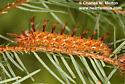 Panthea gigantea larva Day 30 - Panthea gigantea