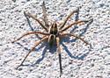 Spider on Sidewalk - Sosippus floridanus