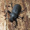 Unkn beetle - Iphthiminus serratus