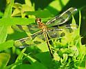 Dragonfly - Celithemis fasciata - female