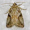 Diastema cnossia  Hodges 9068 - Diastema cnossia