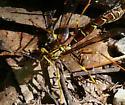 Another Megarhyssa...but what kind?? - Megarhyssa macrurus - female