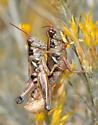 Melanoplus lakinus? - Melanoplus lakinus - male - female
