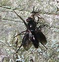 Woodlouse Fly - Melanophora roralis